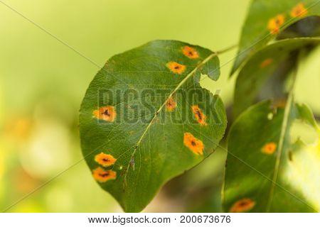 Pear rust disease Gymnosporangium sabinae on a leaf.