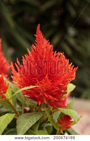 Red Flower Of Celosia, Also Known As Cockscomb