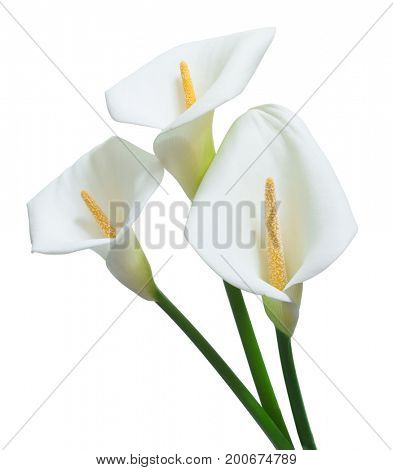 beautiful calla flowers isolated on white