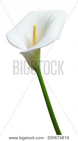 beautiful calla flower  isolated on white