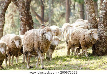 Herd of sheep walking in a field,cute animal
