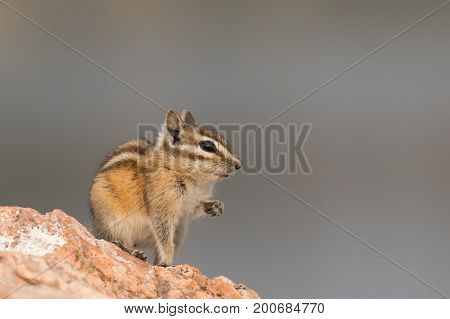 A chipmunk is sitting in a cute pose with its paw lifted on a rock