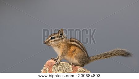 A chipmunk with a long tail is sitting on a rock