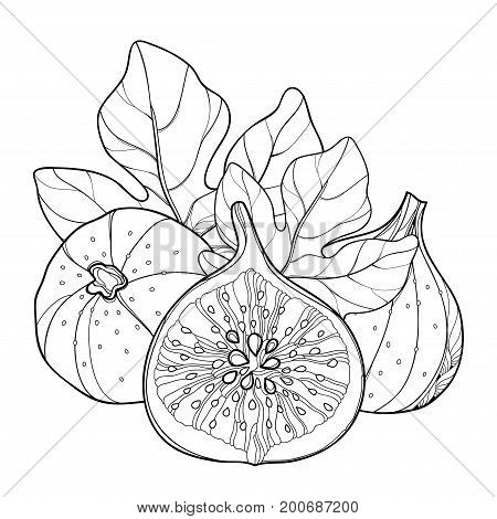 Vector composition with outline Common Fig or Ficus carica. Ripe fruit slice and leaf isolated on white background. Subtropical plant in contour style for exotic summer design and coloring book.