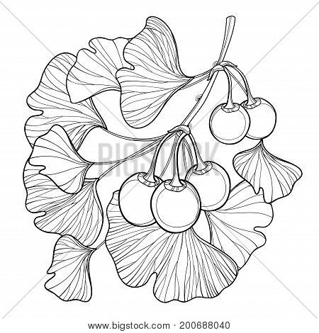 Vector branch with outline Gingko or Ginkgo biloba tree. Bunch with leaf and fruit isolated on white background. Gymnosperms relict plant in contour style for exotic summer design and coloring book.