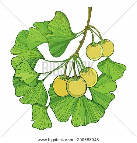 Vector branch with outline Gingko or Ginkgo biloba tree. Bunch with green leaf and fruit isolated on white background. Gymnosperms relict plant in contour style for exotic summer design.
