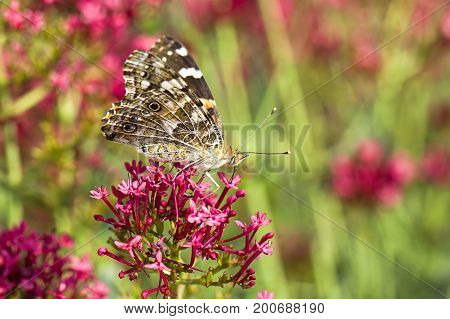 Painted lady butterfly rests on flower. An America painted lady butterfly on a flower has its wings up showing the underside.