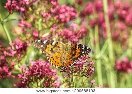 Pretty wings on a butterfly. An American painted lady butterfly with wings spread perches on a flower.
