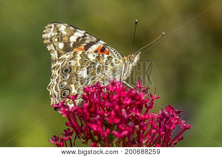 Close up of painted lady butterfly. An America painted lady butterfly on a flower has its wings up showing the underside.
