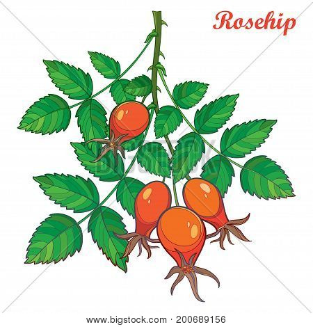 Vector branch with outline Rosehip or Dog rose, medicinal herb. Bunch with hips and green leaves isolated on white background. Ornate wild rose in contour style for botanical summer design.