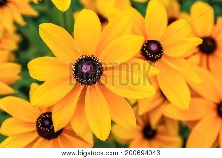 Black eyed susan rudbeckia flowers (in orange color)