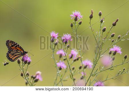 Monarch Butterfly (Danaus Plexippus) feeds on small purple knapweed flowers in the meadow