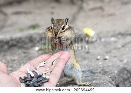A little cute chipmunk stands and eats sunflower seeds from his hand