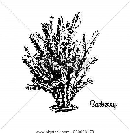Vector sketch illustration of Berberis. Black silhouette of Barberry shrub isolated on white background. Hand drawn bush.