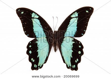Black And Green Butterfly Papilio Bromius Isolated On White Background