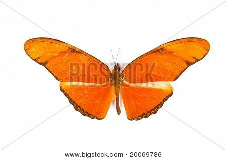 Red Butterfly Dryas Julia Isolated On White Background