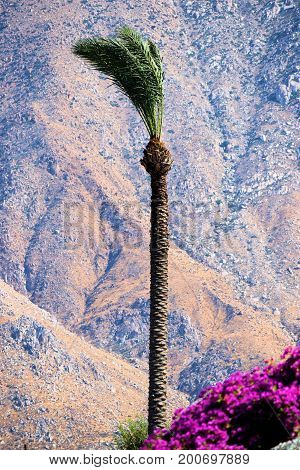 Palm Tree beside manicured flowers at a garden with rugged mountains beyond taken in Palm Springs, CA