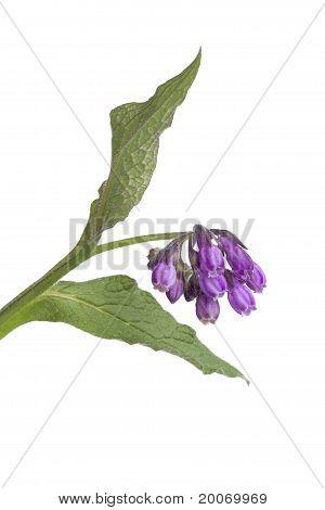 Purple Common comfrey flowers close up