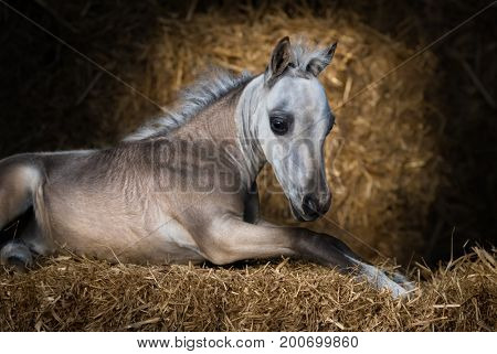 American Miniature Horse. Dun foal lying on straw in stable.