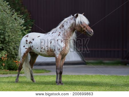 Appaloosa American miniature horse standing on green grass in garden.
