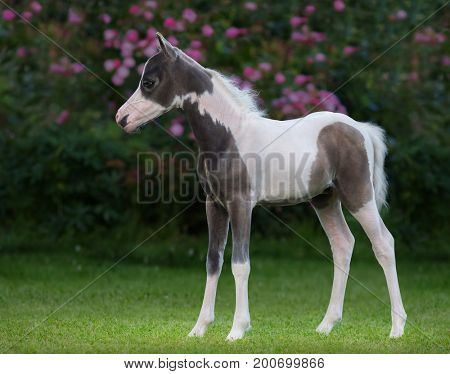 American miniature horse on green grass in garden. Pinto foal is one month of birth.