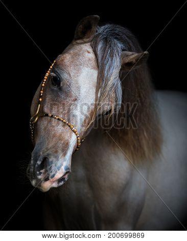 American Miniature Horse. Vertical portrait on black background.