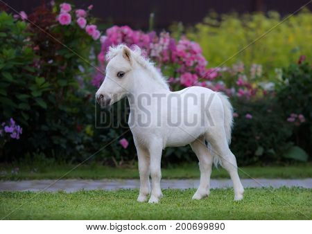 American miniature horse. Palomino foal on green grass in garden.