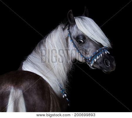 Silver-black American Shetland Pony. Close up portrait on black backgound.