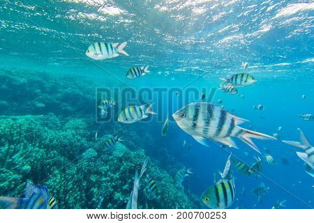 Shoal of fish in Red sea, Egypt. Tropical sea with beautiful ocean ecosystem.
