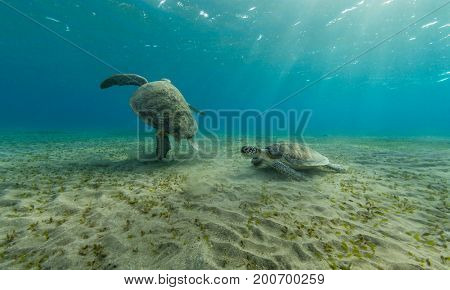 Hawksbill turtles playing together on sandy sea bottom. Wild animal underwater photography, marine life, diving and snorkeling activities.