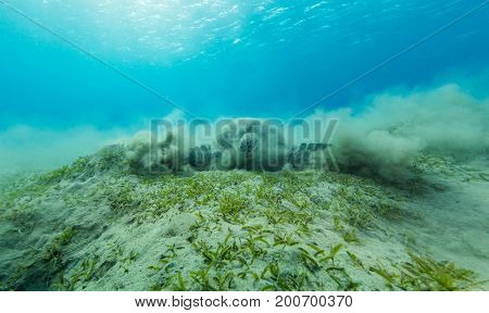 Hawksbill turtle eating sea grass from sandy bottom. Wild animal underwater photography, marine life, diving and snorkeling activities.