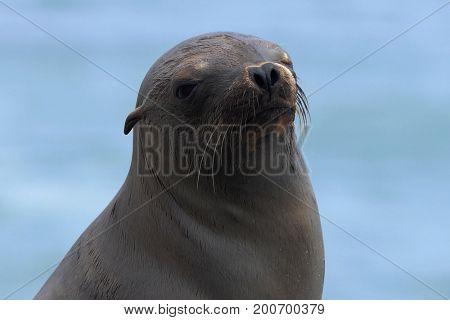 California Sea Lion enjoying the sun at Leo Carrillo State Beach in Malibu.