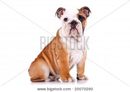 Curious English Bulldog Puppy