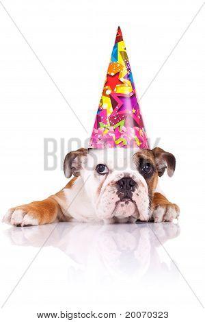 English Bulldog Puppy Wearing A Birthday Hat
