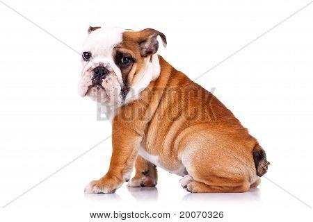 Side View Of An English Bulldog Sitting