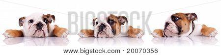 Three Poses Of An English Bulldog Puppy