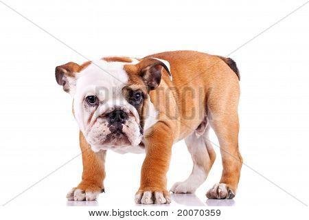 English Bulldog Puppy  Looking At The Camera