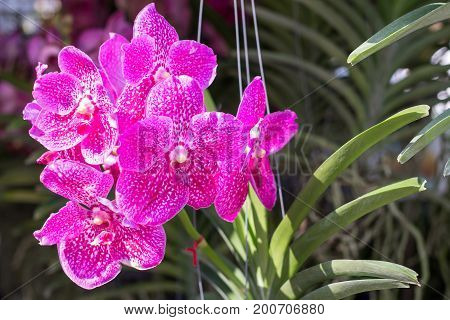 Orchid flower in the garden at winter or spring day for postcard beauty agriculture idea concept design. Phalaenopsis orchid is a genus in the orchid family (Orchidaceae)