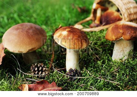 Mushroom boletus growing in the forest . Fall background .