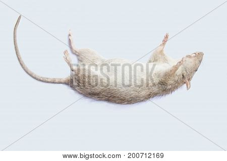 Dead rat on white background. rat isolated on white background