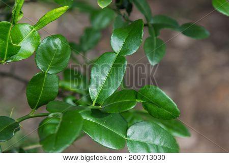 Green leaves Lime leaves. Kaffir lime leaves on white background, organic ,herb.