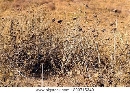 Arid field with dried up Thistle Wildflowers and grasslands during a prolonged drought taken in the Whittier Hills, CA