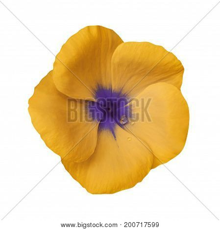 Orange flower on isolated white background with clipping path. Closeup. Beautiful orange-violet flower Violets for design. Nature.