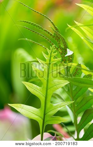 Fresh green fern leaves on green background in the garden sunlight. The texture of fern leaves Fern leaf in Forest. Garden and Green wall.