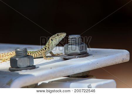 Lizard / A small lizard in an unusual environment