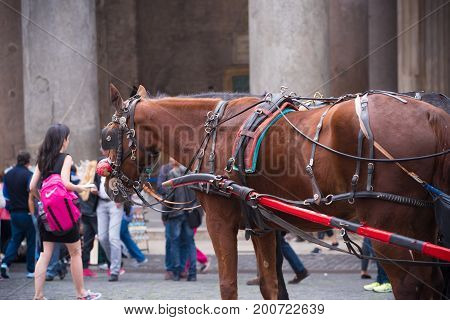 ROME ITALY - OCTOBER 20 2016: closeup of a horse with carriage at the pantheon in rome italy