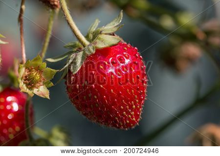 Ripe strawberry and newly-forming fruit in sunshine.