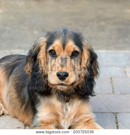 Five-month-old sable coloured English Show Cocker Spaniel Puppy.