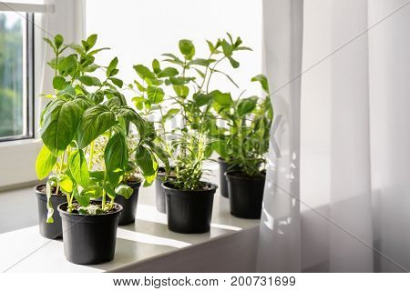 Pots with basil, rosemary and mint on windowsill