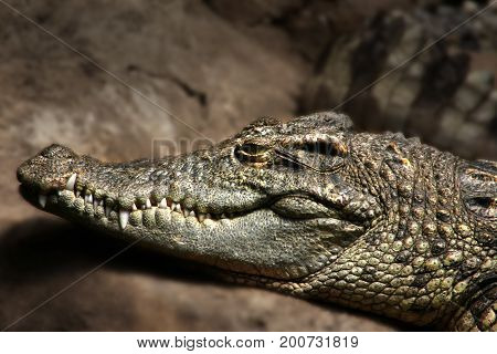 Portrait of a crocodile, one of the most dangerous hunters.
